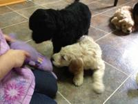 We have a beautiful litter of Goldendoodles DOB: