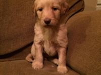 I have four Goldendoodle puppies left. 1 lady and 3