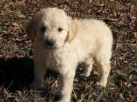 I have a gorgeous litter of F1 golden doodles. If