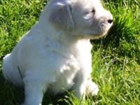 Cream F1 goldendoodle puppies available soon, currently