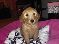 Beautiful goldendoodle puppies are ready for their