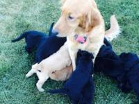 We have 9 F1 Goldendoodle puppies for sale. Their
