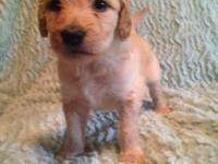 We have 6 Goldendoodle new puppies available. They will