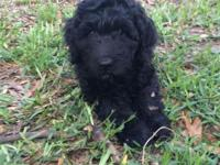 Cuddly F1 Goldendoodle puppy available! She is ready