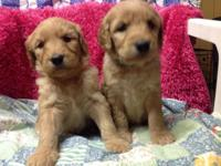 Beautiful F1 Goldendoodle puppies. CKC, veterinarian