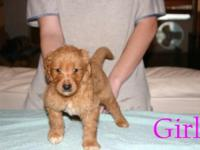 Three beautiful F1 Goldendoodles. Born 7/13/15 and will