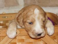 F1 GoldenDoodle Puppies born on October 3, 2013. Five