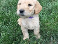 I have 14 goldendoodles 8 females and 6 male. Born on