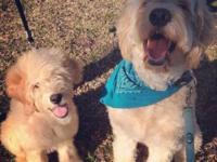 Christmas F1 Goldendoodles Due mid December Ready for