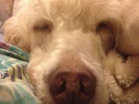 I have an F1 Labradoodle male for rehome. He is 4 years