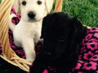 Labradoodle puppies; 12 weeks old; Cream or black