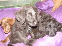 12 week old puppies, black males and brown females,