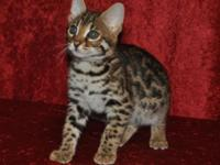 Beautiful F1 kitten available as a loving pet. Noah was