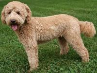 Guardian home wanted. I have 2 female Goldendoodles