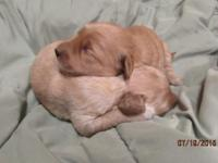 We had a litter of F1 Miniature Goldendoodle puppies on