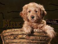 F1 Mini Goldendoodles born Dec 17, 2014. The puppies