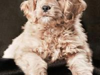 F1 Mini Goldendoodles born March 5, 2015. The puppies