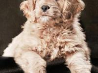 F1 Mini Goldendoodles Due November 10, 2015. The