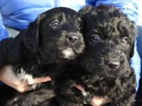 We ONLY have 2 puppies left, both parti black/white