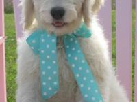 We have F1 Standard English Teddy Bear Goldendoodle