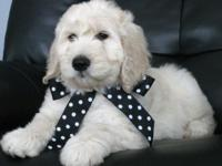 We have Gorgeous F1 Standard Goldendoodle Puppies