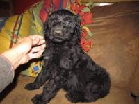 F1B Standard Black Female AussieDoodle will be 50-60#
