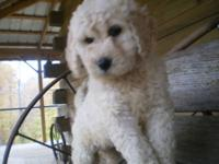 THEY ARE A GOLDENDOODLE F1B. THEY SHED A LITTLE LESS