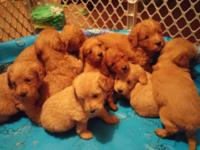 9 gorgeous f1b Labradoodle puppies in shades of cream
