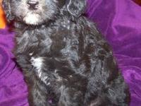 Dam: Grace: Black f1 Labradoodle; Weight 60/65 Sire: