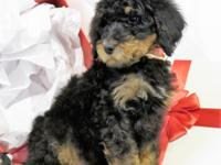 Perfect Golden Doodle Puppies! Look no further for your