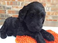 I have a female f1b goldendoodle for sale. Born sept 17