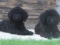 Our Goldendoodle babies will be ready for their