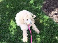 a beautiful f1b female goldendoodle pup, training