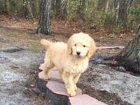 I have 3 goldendoodle female young puppies one apricot
