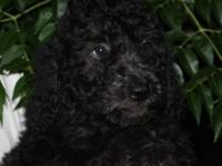 Really sweet and pretty black female F1B Goldendoodles