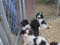 We have a beautiful litter of F1B Goldendoodle puppies