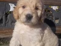 F1B goldendoodle puppies due June 9, 2013. Mother is a