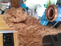 Darling F1b Goldendoodle Puppies M/F Reds,Apricots and