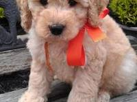 i have one female and one male. the f1b goldendoodles