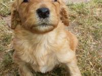 F1b Goldendoodles Ready July 22. They have a