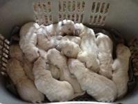 11 Goldendoodle puppies born on February 18 ready to go