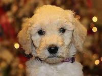 We are very excited about our Goldendoodle Serena's new