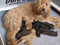 SEVEN F1b GOLDENDOODLE PUPS AVAILABLE NOW!! Here's our