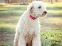 Ethically-raised and beautiful Goldendoodle puppies due