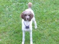 We bred our brown & white parti Standard Poodle to our