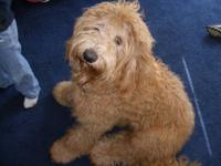F1B Goldendoodle pups due the 1st week in nov. Ready