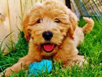 We have a brand new litter of F1b goldendoodle