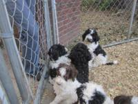 F1B Goldendoodle puppies ready to go. Several Parti