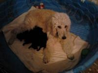 puppys will be six weeks old Jan 12th, Black in color,