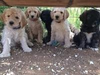 Adorable litter of F1b Standard Goldendoodles! Creams,